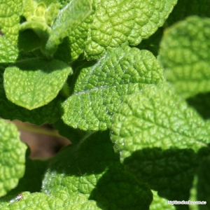 Applemint (leaf) Tea