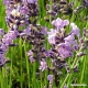 Lavender (flower) Tea