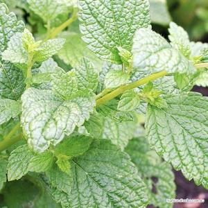 Lemon Balm (leaf + flower) Tea