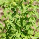 Oregano (leaf) Tea